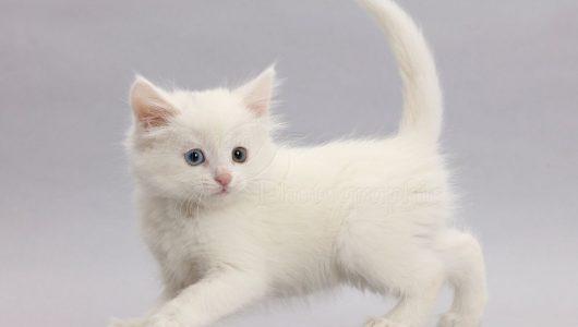 42951-White-kitten-walking-across-on-grey-background