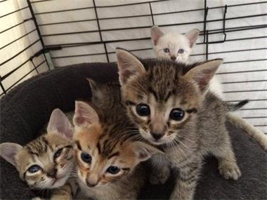 savannah-f4sbt-kittens-te-koop-zonder-stamboom