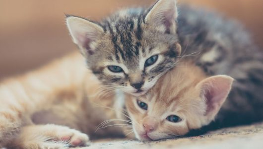 Two-kittens-GettyImages-559292093-58822e4f3df78c2ccd8b318c