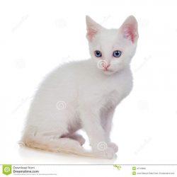 weinig-witte-kat-met-blauwe-ogen-47178958