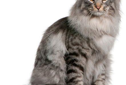 174-Katten-shutterstock-siberische-kat