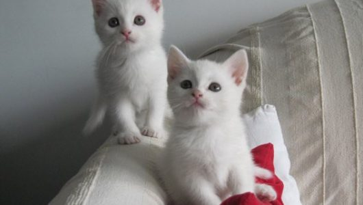 wit-kitten-kruising-britse-korthaar (1)