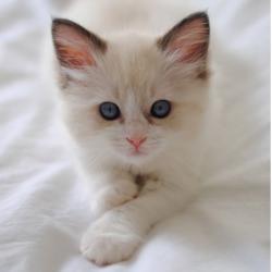 White-Kitten-Blue-Eyes_580x