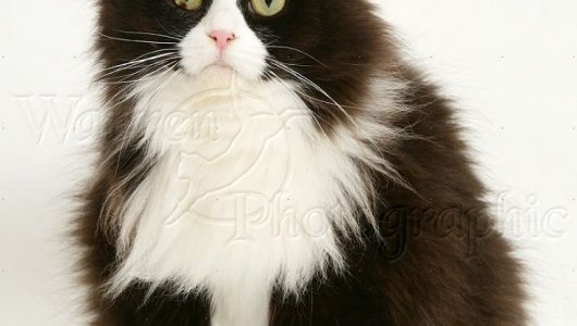 26267-Fat-black-and-white-cat-white-background