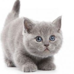 Woondecoratie-leuke-kat-kitten-grijs-Zijde-Stof-Poster-Print-DW515