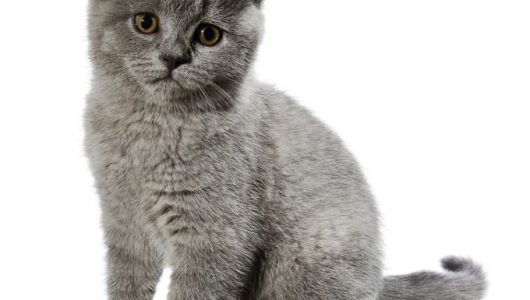 british-shorthair-cats-and-kittens-1