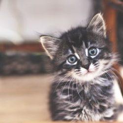 kitten-looking-at-camera-521981437-57d840213df78c583374be3b