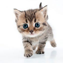 Kitten-adopteren