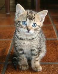tijger kitten