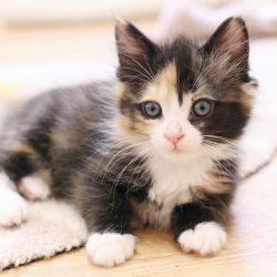 KittenRescue_KittenNursery_FluffyCalico