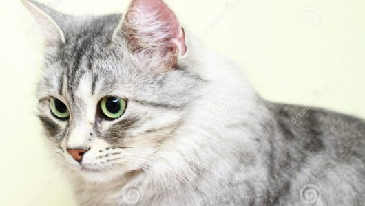 siberian-cat-female-version-silver-view-breed-36260665