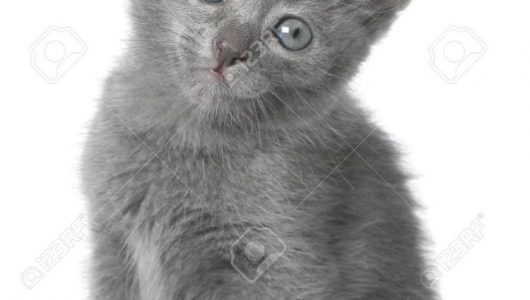 grijze kitten