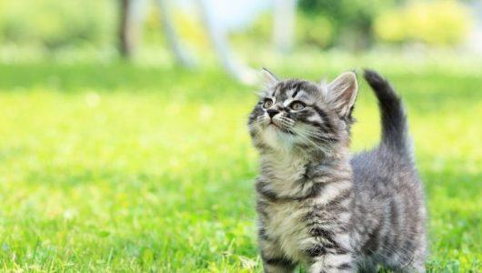 grey-striped-kitten-grass