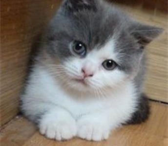 ragdoll-kittens-kittens-
