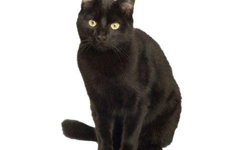 zwarte-kat