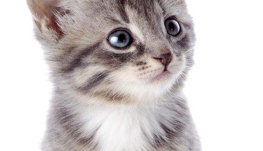 fotobehang-portret-van-een-grijs-gestreepte-kitten-met-blauwe-ogen.jpg