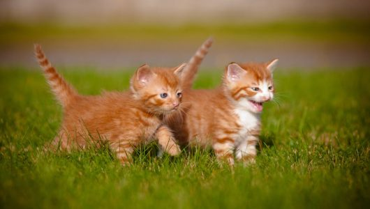 Cat-Cat_Guide-Two_young_kittens_playing_together_outside_on_the_grass