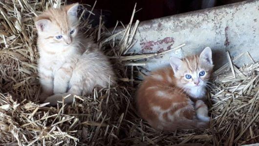 rosse kittens