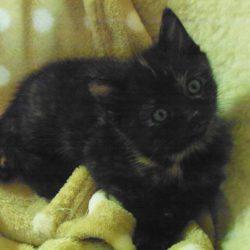 zwart - bruintje (Middel)